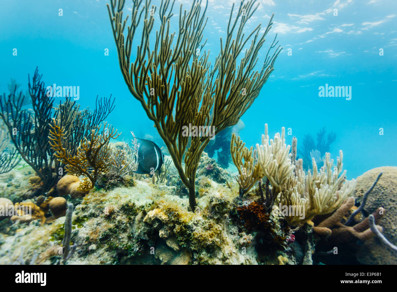 Underwater close up view of marine life and coral formations on Coral reef off eastern coast of Belize - Stock Image