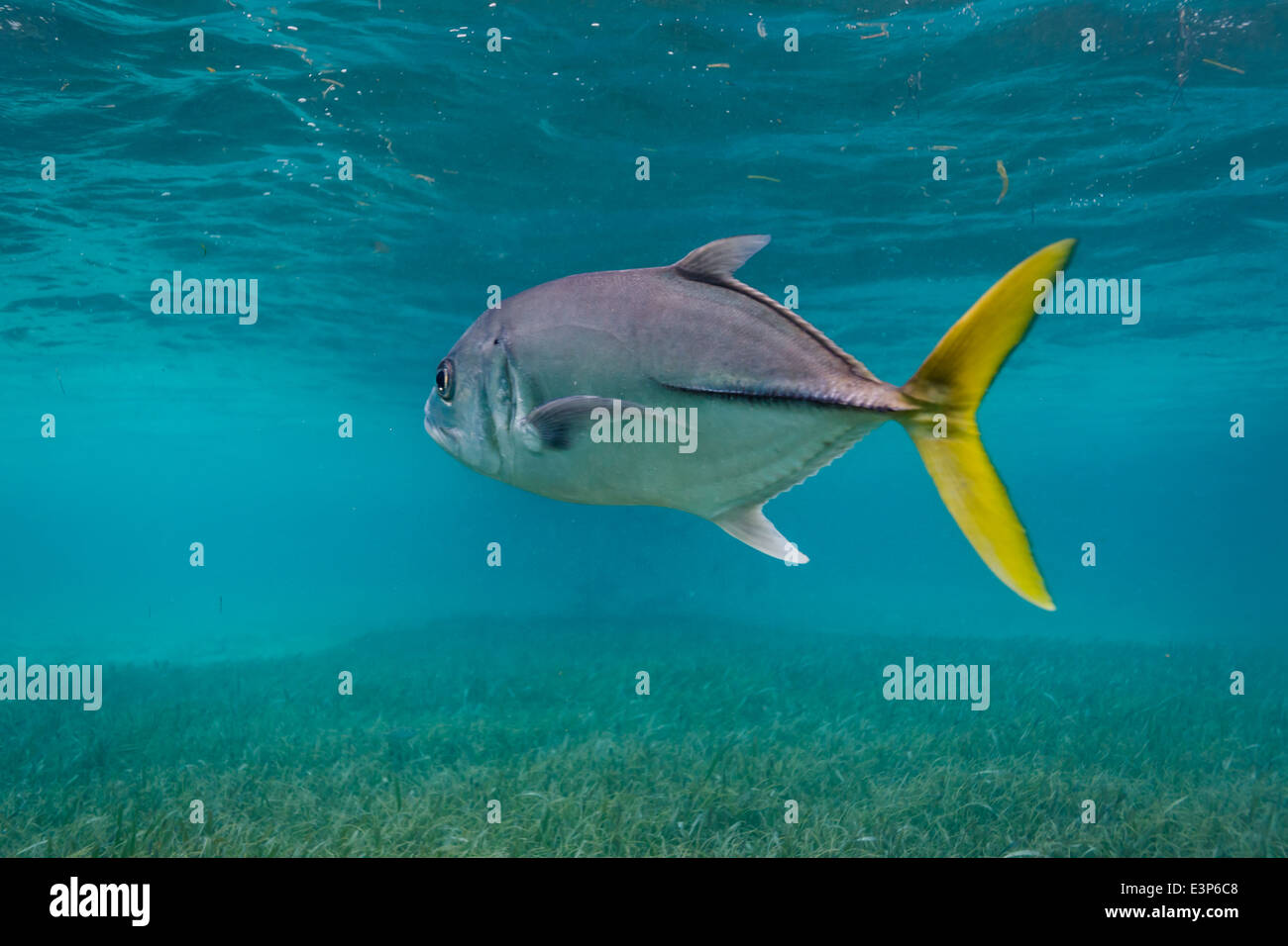 Horse swimming stock photos horse swimming stock images for Yellow tail fish