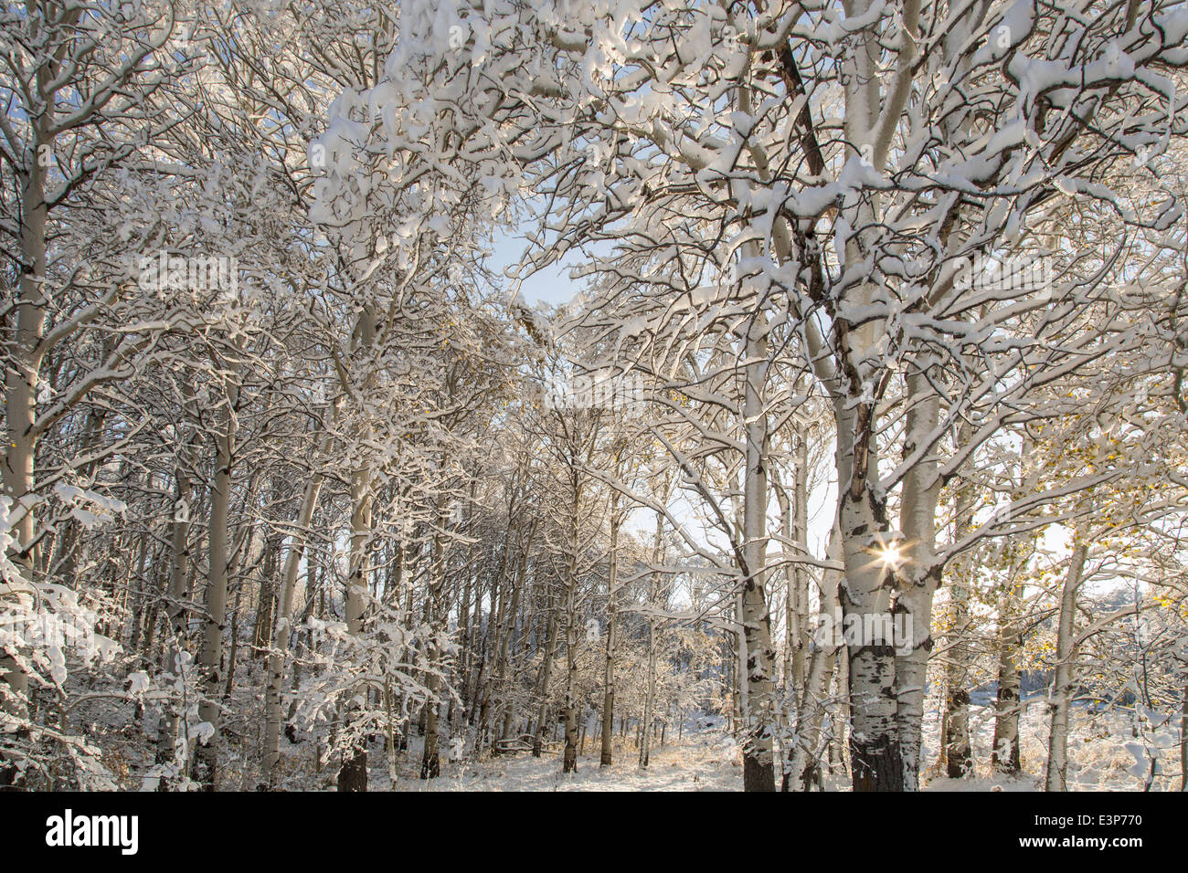 Aspen Trees Montana High Resolution Stock Photography And Images Alamy