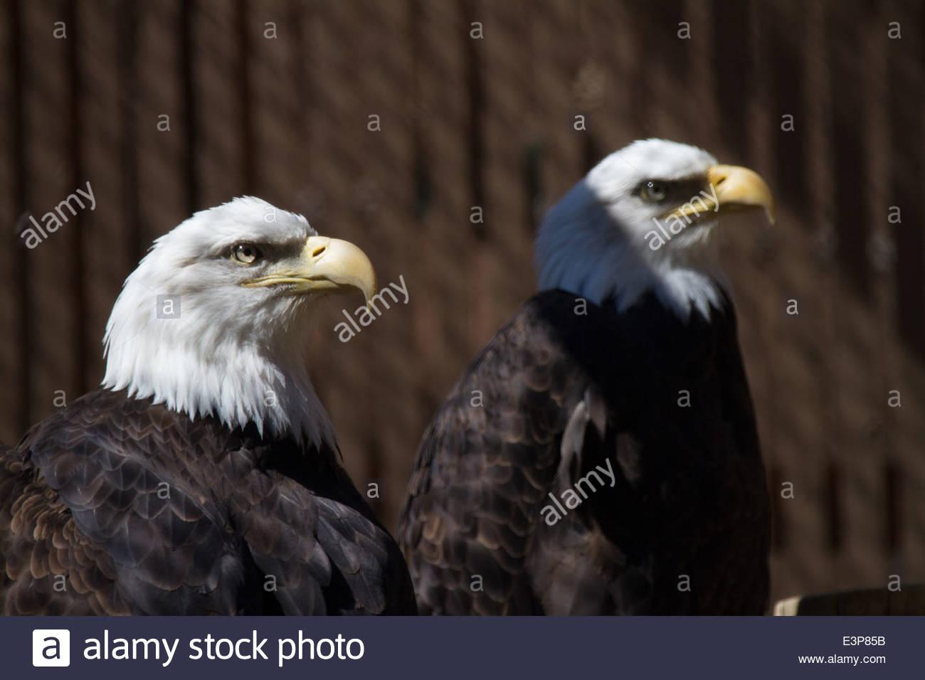 Captive Injured Bald Eagles At Rehabilitation Center, The Dalles, Oregon, USA - Stock Image