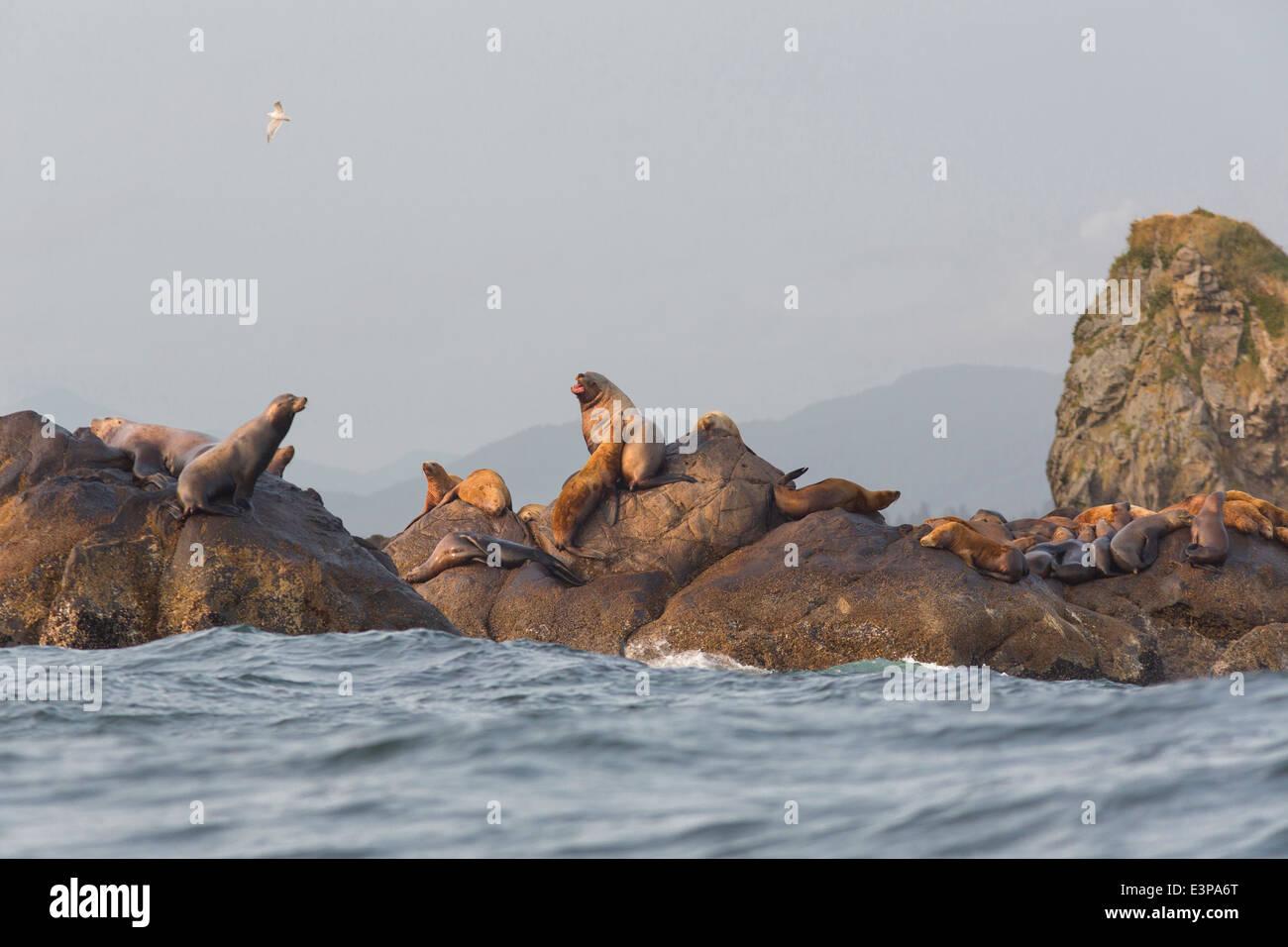 USA, Washington, Stellar Sea Lions and one CA Sea Lion at Flattery Rocks, Cape Alava, Olympic National Park, Washington. - Stock Image