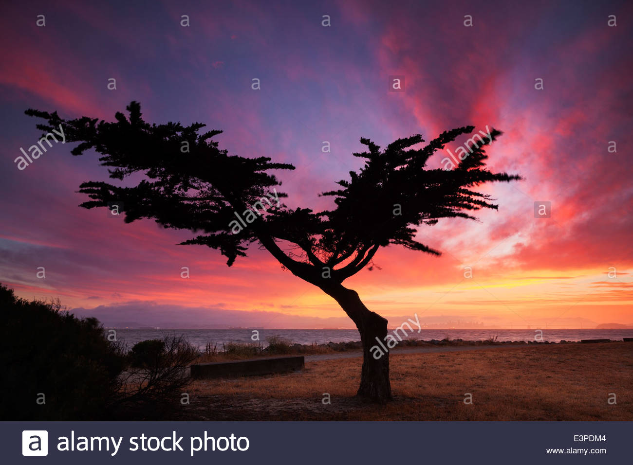 Lonesome Cypress Tree, Alameda, California - Stock Image