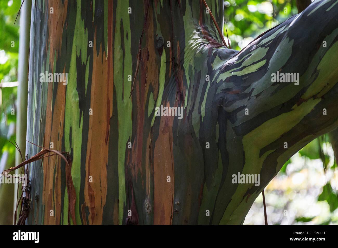 Rainbow Eucalyptus Eucalyptus deglupta) close-up multi-coloured bark New Zealand - Stock Image