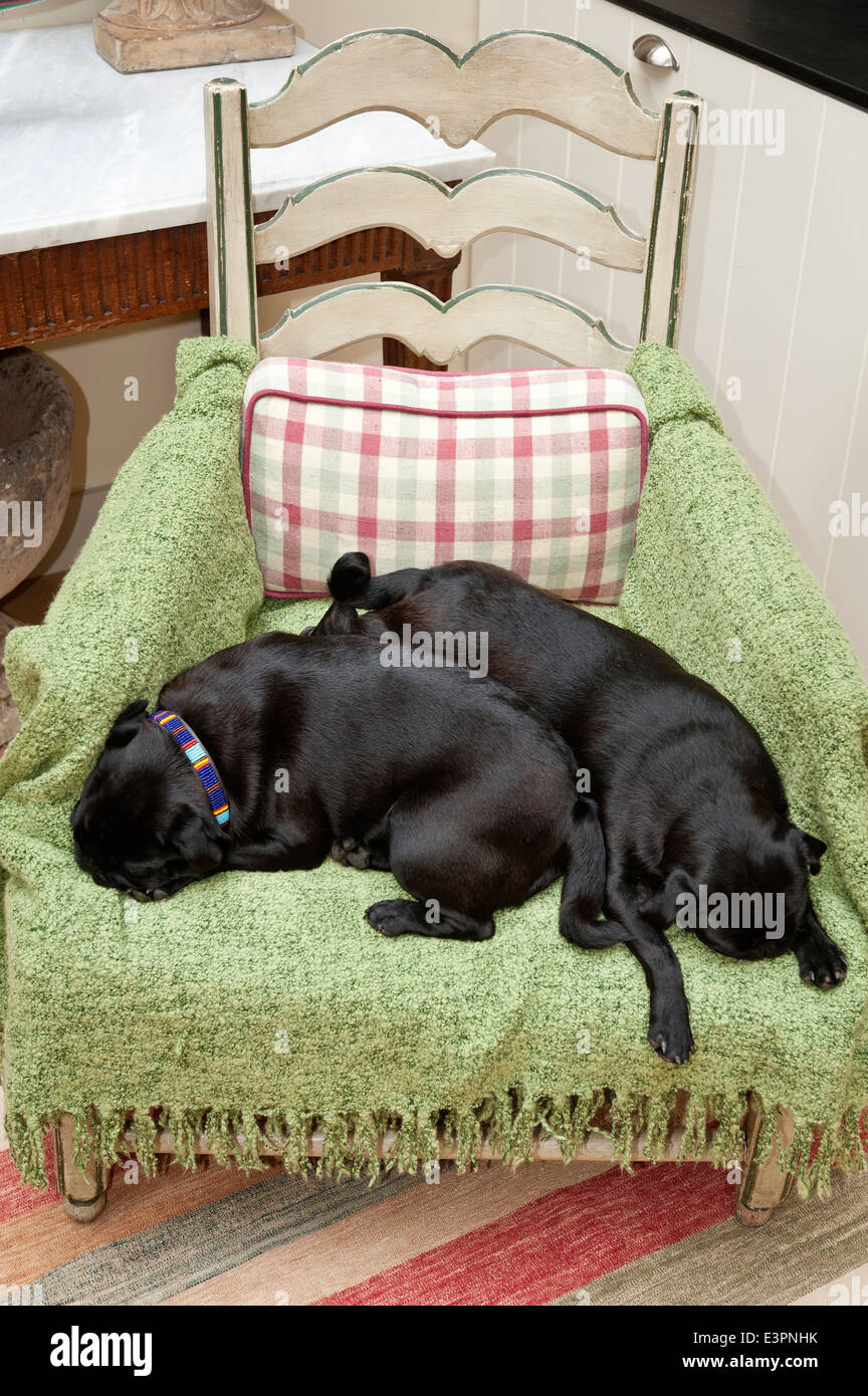 Pair of pugs sleeping on a green rug covering a wooden armchair - Stock Image