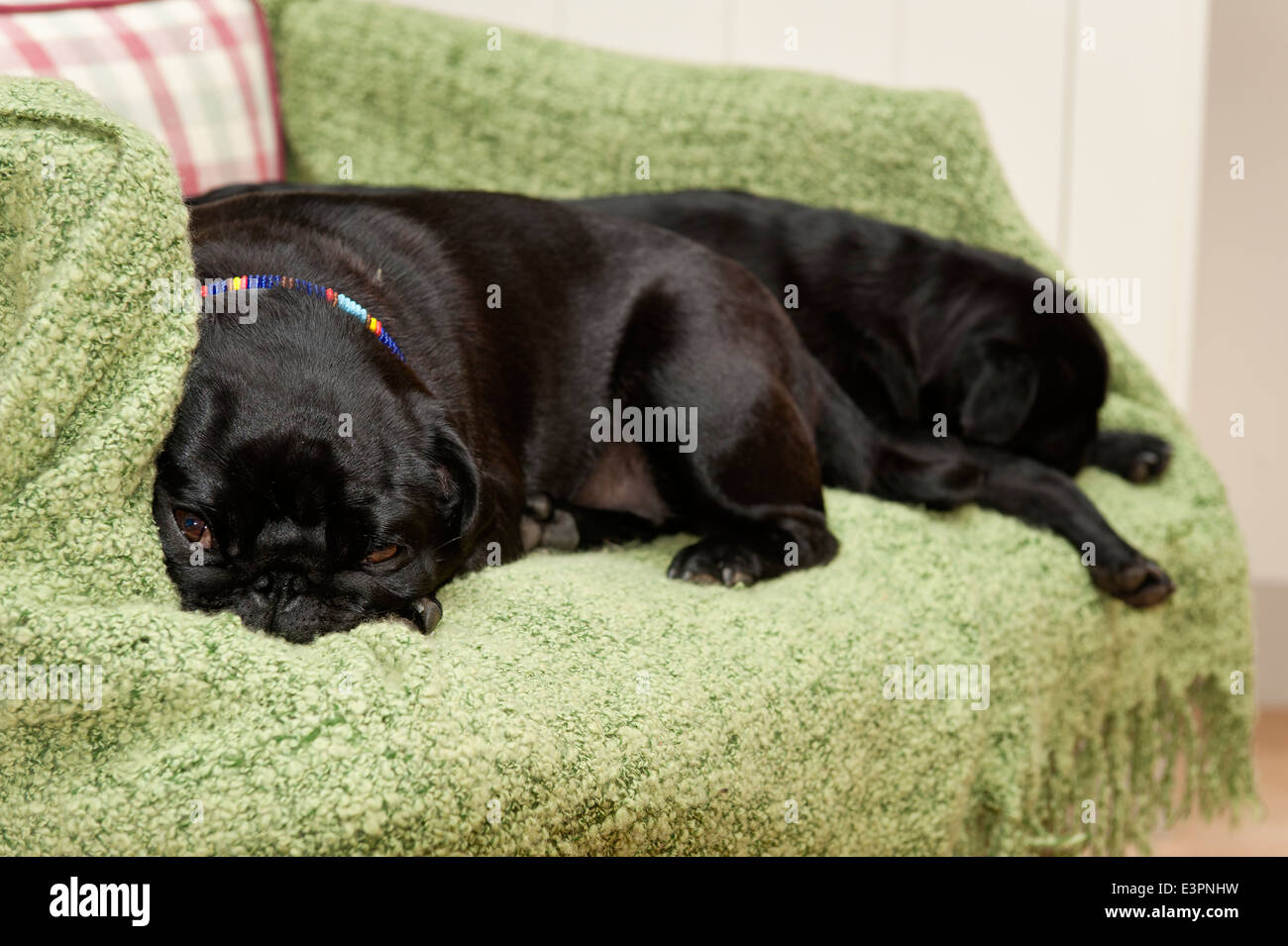 Pair of pugs sleeping on a green blanket - Stock Image