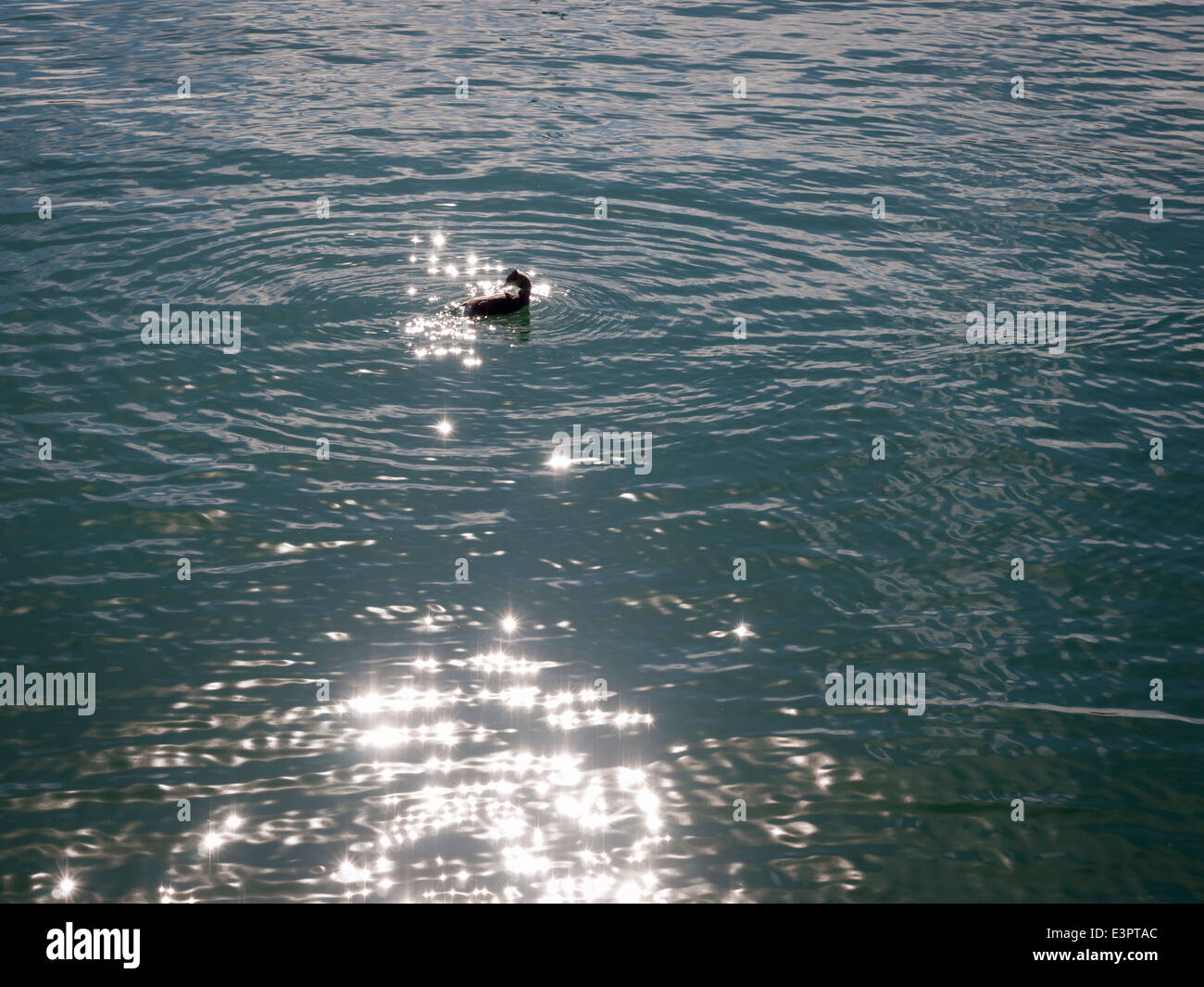 Great crested grebe swimming on a lake with sun reflections - Stock Image