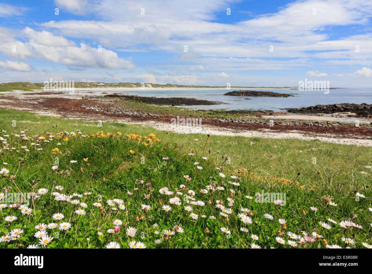 Wild flowers growing in Machair grassland on west coast. Traigh Iar beach Balranald, North Uist, Outer Hebrides, - Stock Image