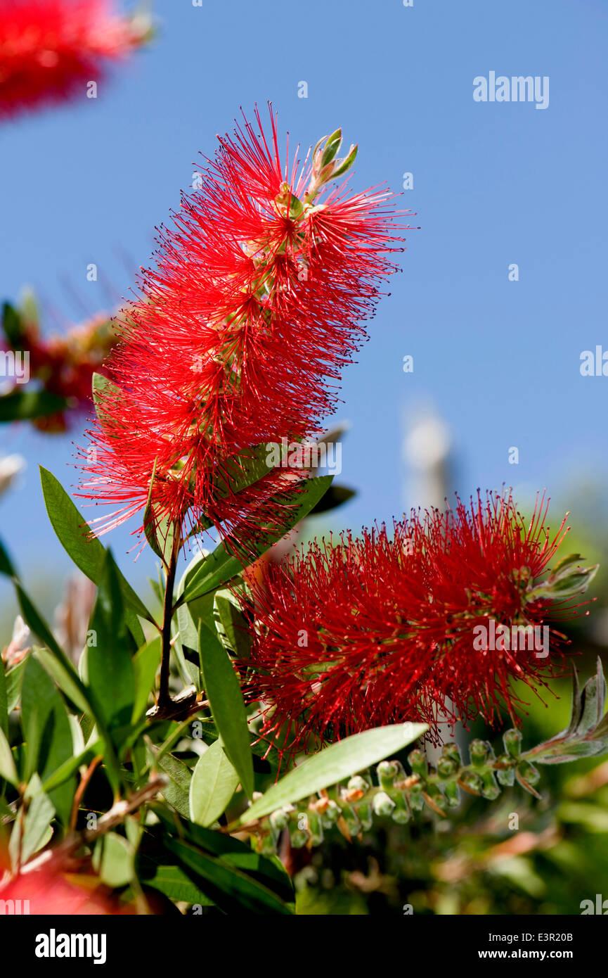 A red bottlebrush, Callistemon, flower in a garden in Sorrento, Italy - Stock Image