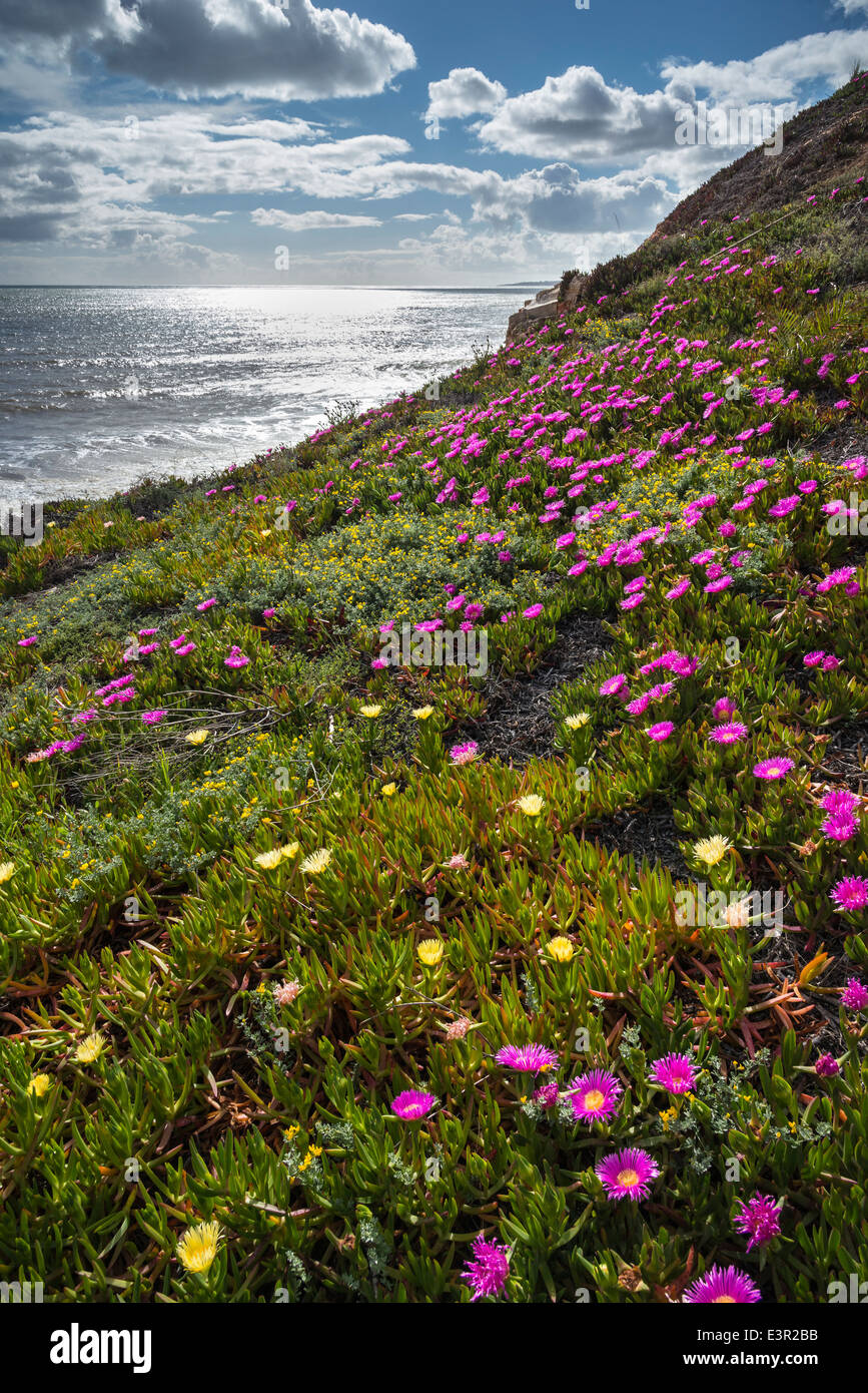 Mesembryanthemum, AKA Ice plant, on the cliffs above Praia de Falesia beach on the Algarve, Portugal. - Stock Image