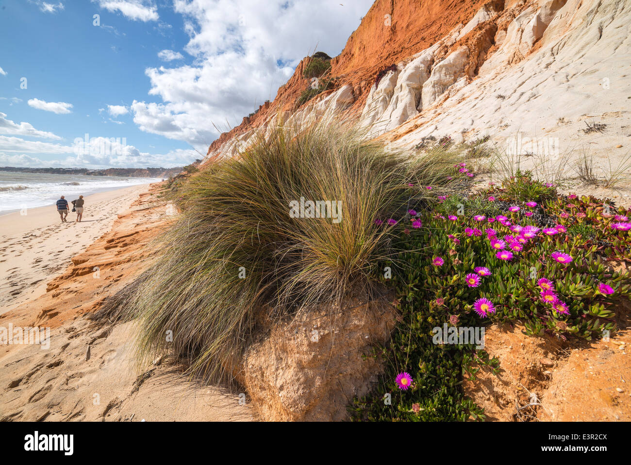 Mesembryanthemum, AKA Ice plant, on Praia de Falesia beach between Vilamoura and Albufeira on the Algarve, Portugal. - Stock Image