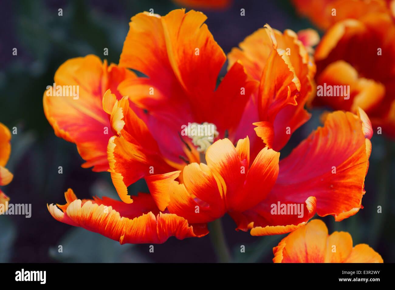 Orange ragged tulip flower close up - Stock Image