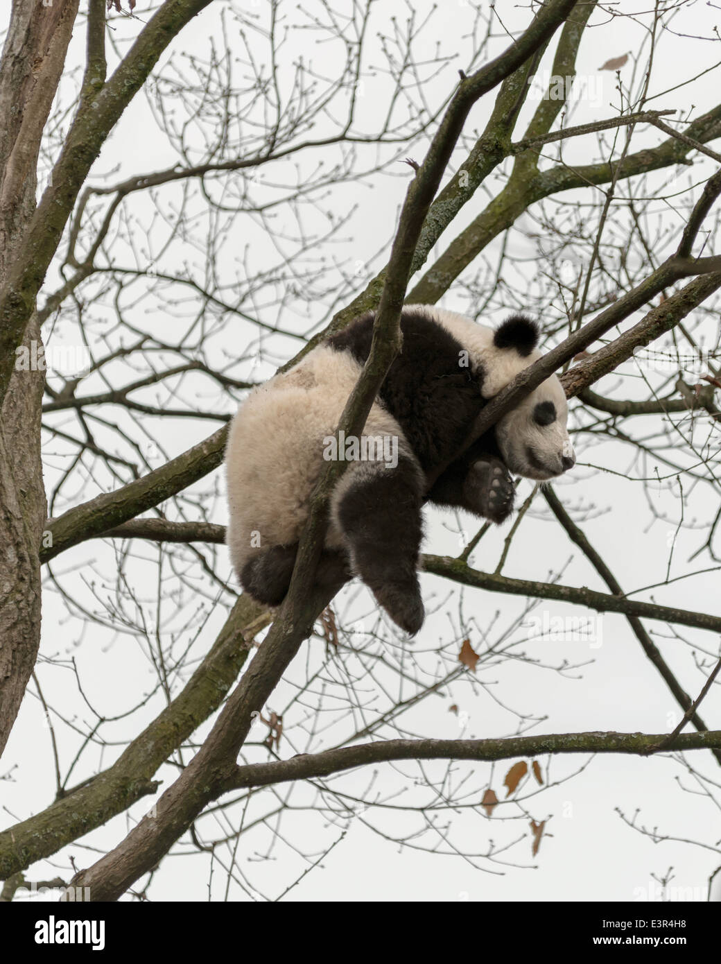 Baby panda sleeping wedged in a tree, Bifeng Xia, Sichuan Province, China - Stock Image