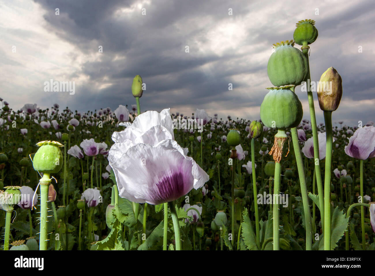 Papaver somniferum, the Opium poppy Stock Photo