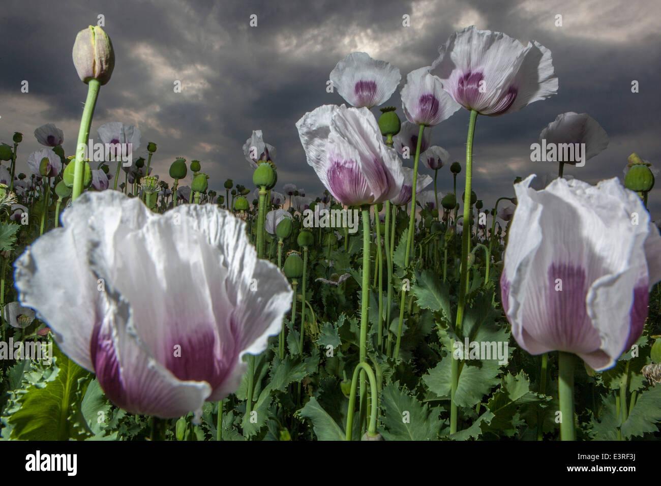 Papaver Opium poppy field, flowers Stock Photo