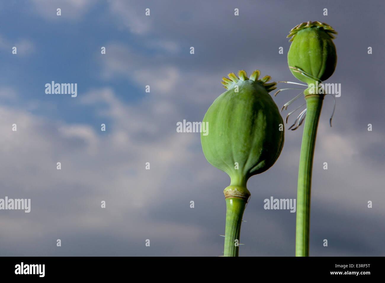 Papaver somniferum, the Opium poppy Stock Photo