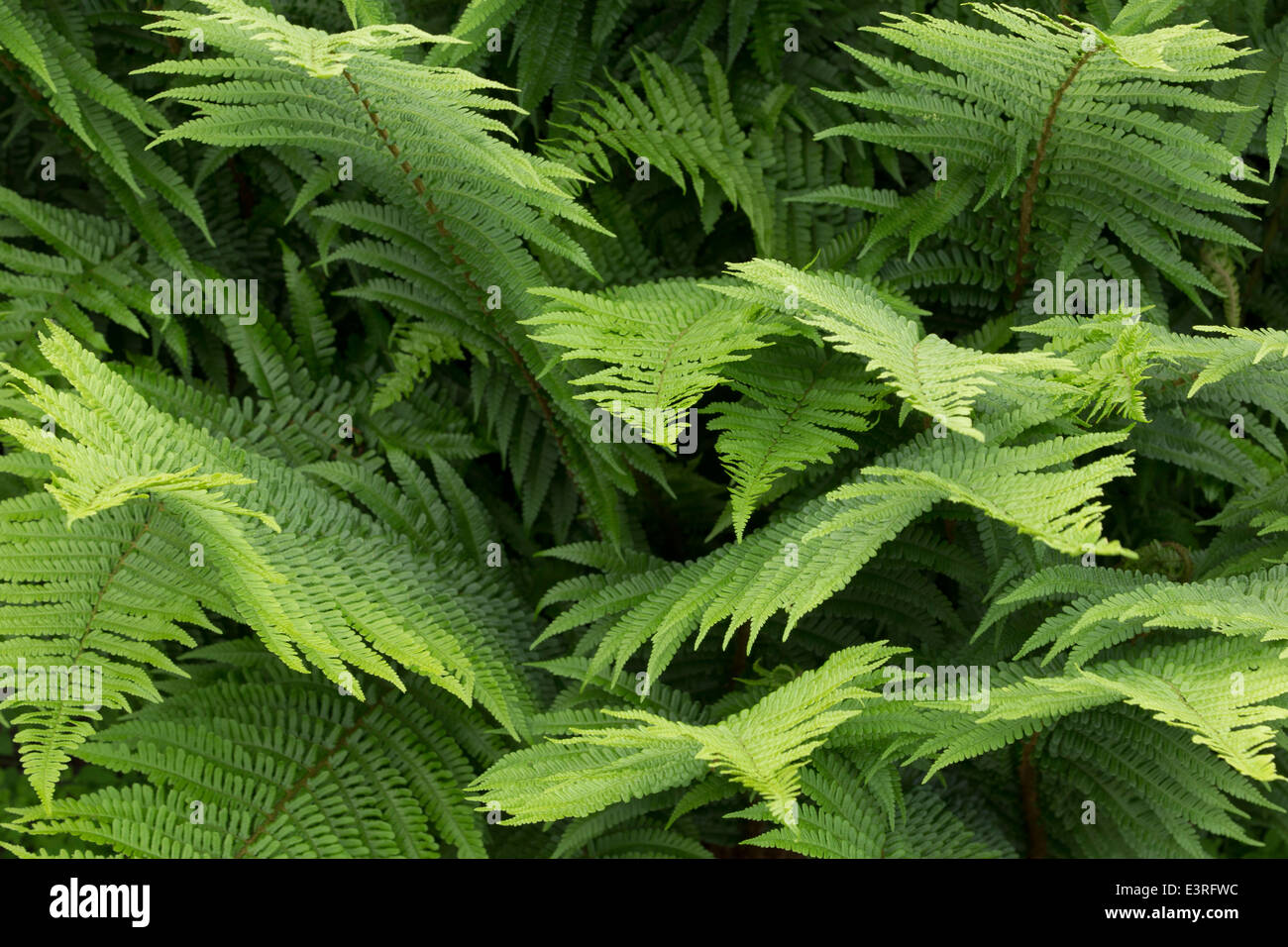 Looking down into the heart of a fern. - Stock Image