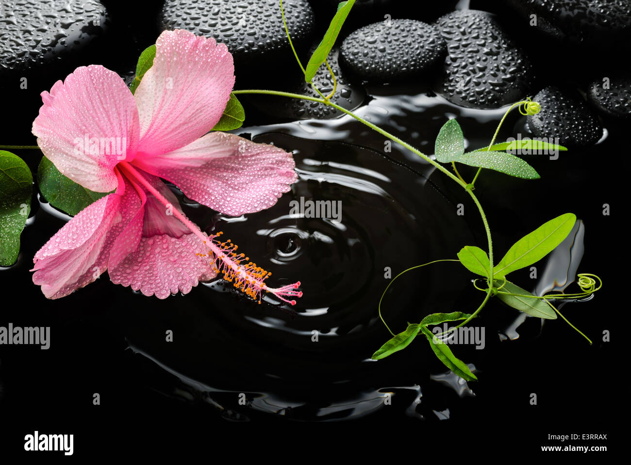 Hibiscus flower branch on black stock photos hibiscus flower spa concept with hibiscus flower on massaging stones and drops stock image izmirmasajfo