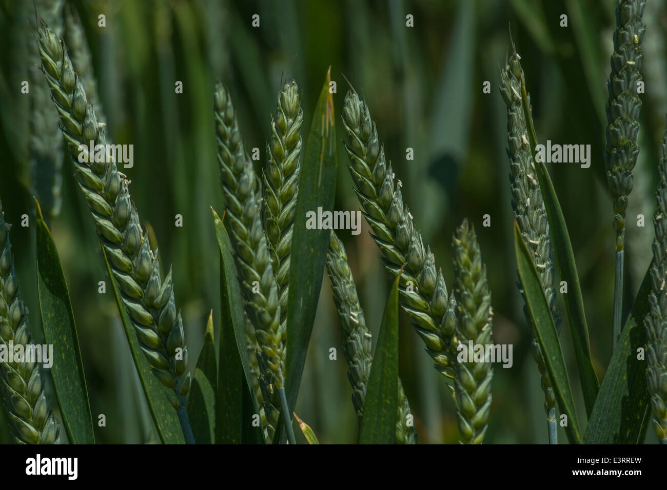 Heads of wheat [Triticum aestivum] still in their unripe green state. Visual metaphor for concept of famine. Metaphor - Stock Image