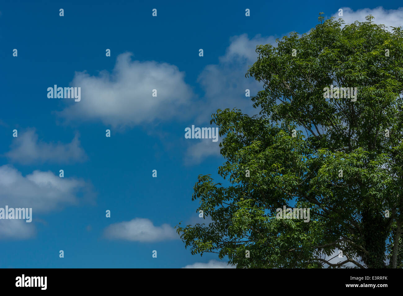 Fluffy clouds on a summer's day; tree foliage in foreground. 'Head in the clouds' metaphor, and cloud - Stock Image