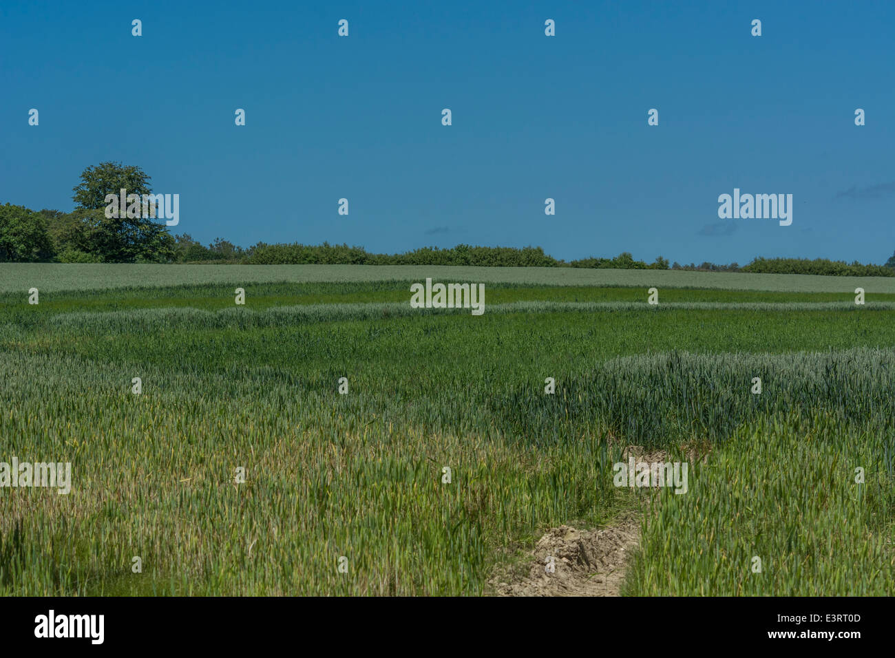 Wheat field in summer (June). About the bottom third of image the crop gradually softens off. Metaphor for food - Stock Image