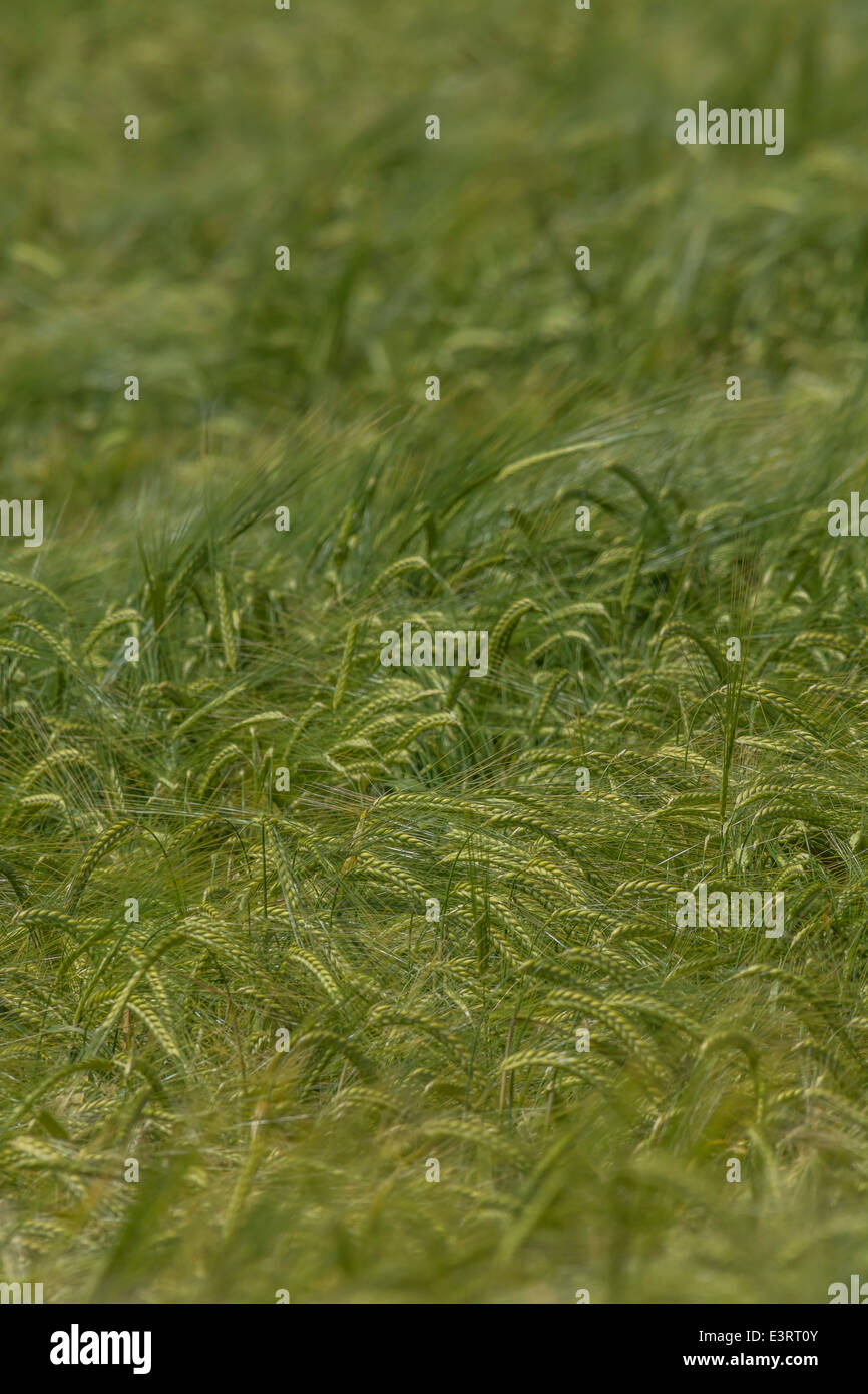 Green fields of England concept. Heads of green barley (Hordeum vulgare) growing. Focus on heads in image centre. - Stock Image