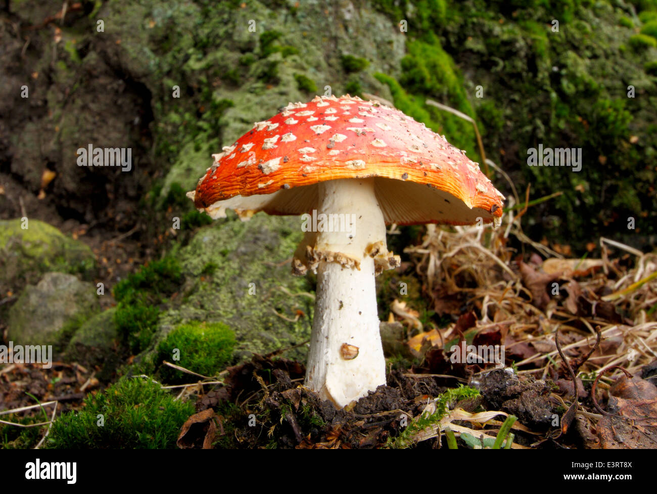 A poisonous fly agaric fungi (amanita muscaria) grows at the base of a tree in a small patch of roadside woodland, Stock Photo