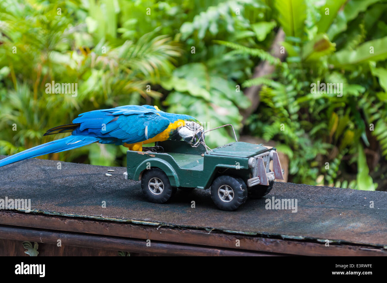 A blue and yellow macaw performs a trick involving a toy car at the KL Bird Park in Kuala Lumpur, Malaysia. - Stock Image