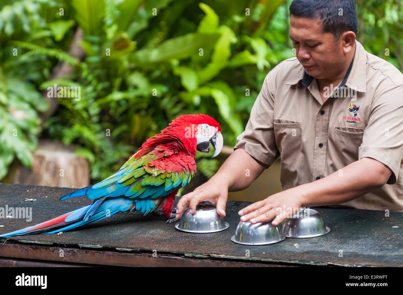 A scarlet macaw plays a cup game with a bird trainer at the KL Bird Park in Kuala Lumpur, Malaysia. - Stock Image