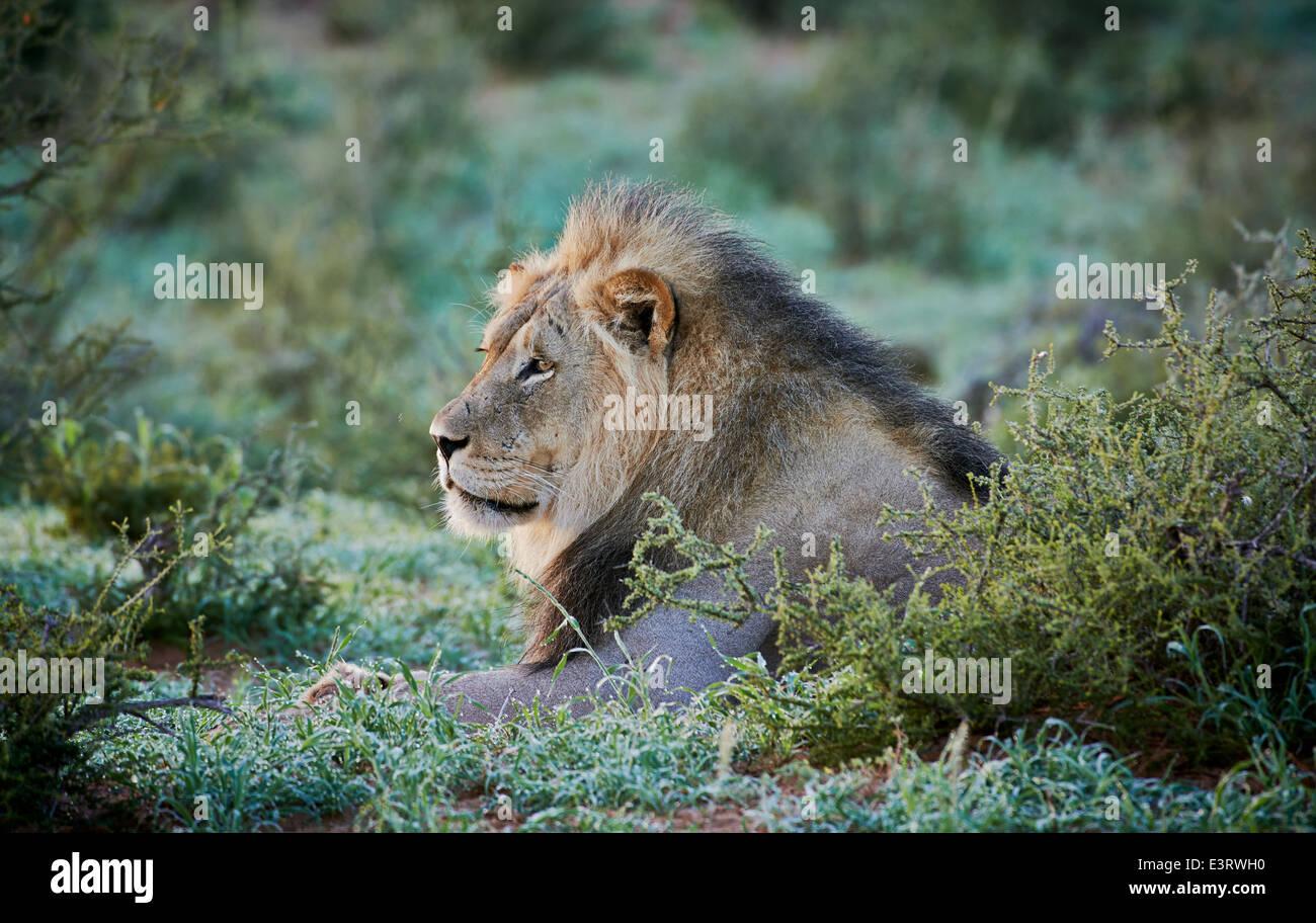 expressive face of a male lion (Panthera leo) Kgalagadi Transfrontier Park, Kalahari, South Africa, Botswana, Africa - Stock Image