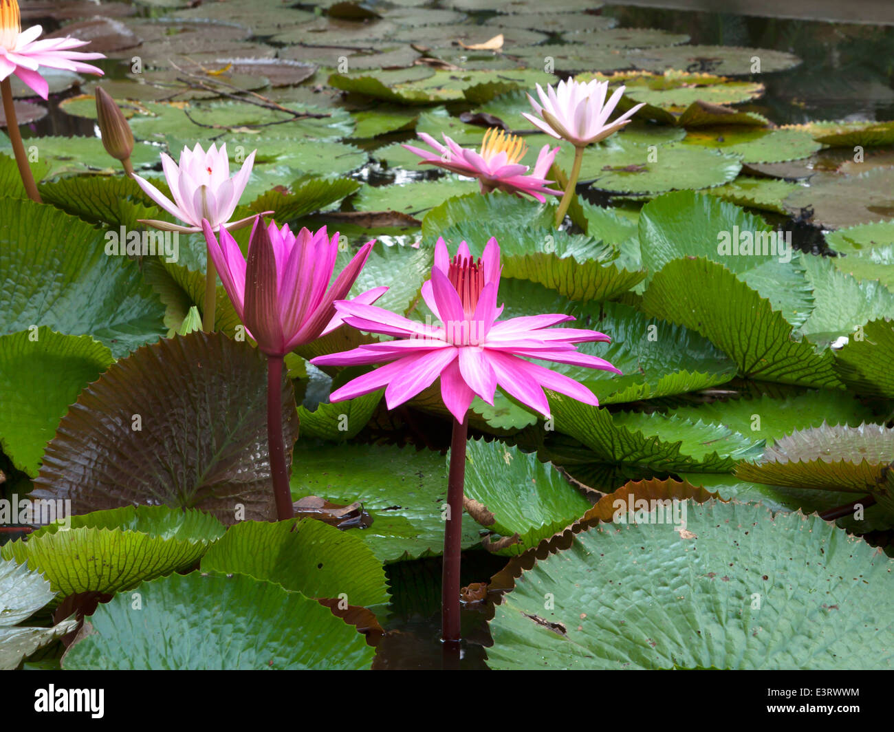 Beautiful Lotus Flowers Stock Photos Beautiful Lotus Flowers Stock