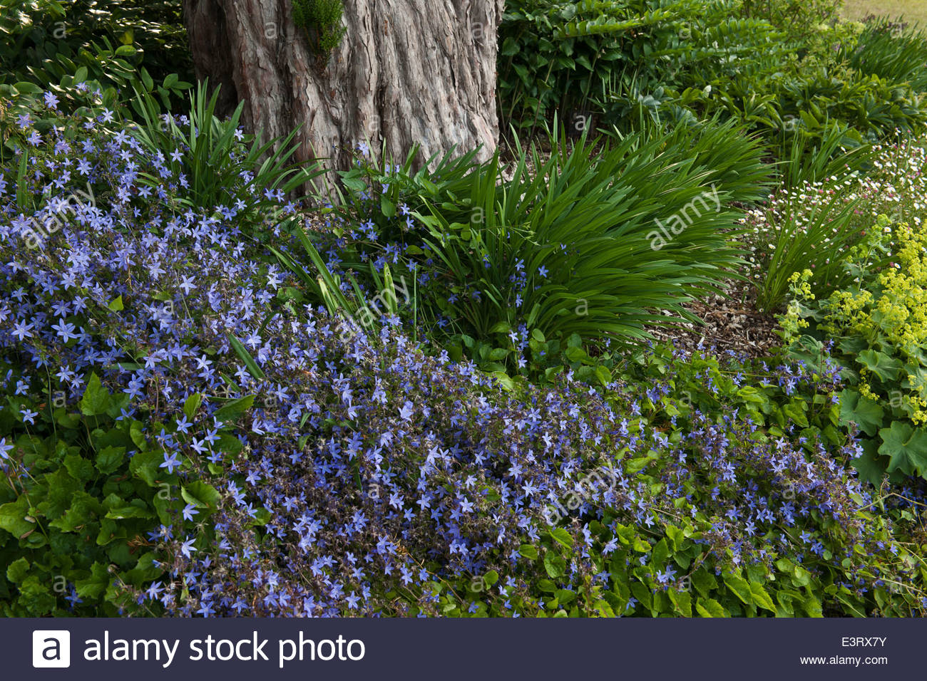 Campanula portenschlagiana wall bellflower summer flower perennial campanula portenschlagiana wall bellflower summer flower perennial blue violet june groundcover perennial blooms blossoms flower mightylinksfo