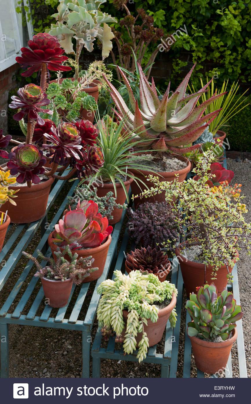 Succulents In Terracotta Pots Containers Garden Staging Display West Dean  Sussex Walled Garden June Tender Garden Plants