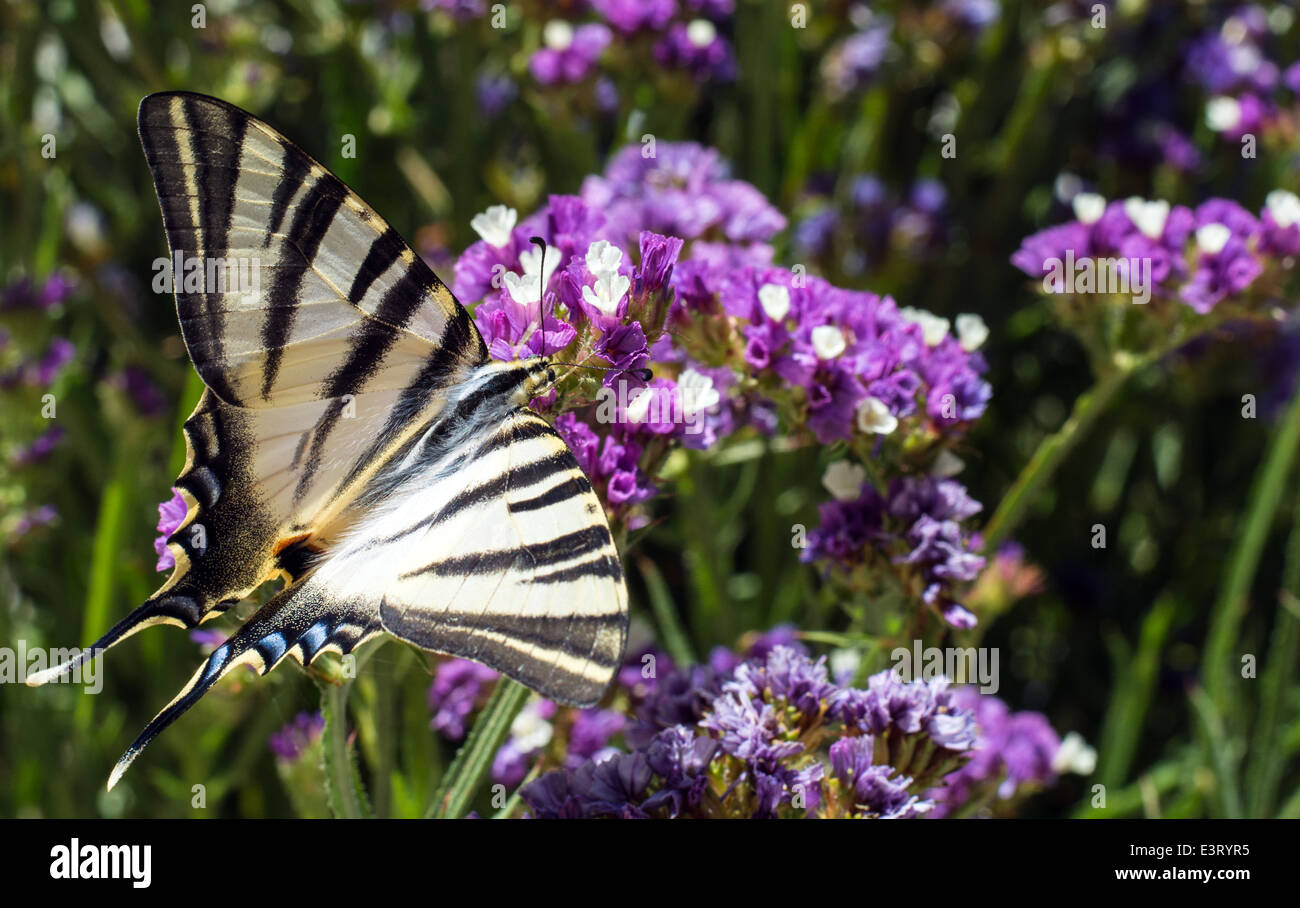 Close up of a swallowtail butterfly feeding on a flower - Stock Image
