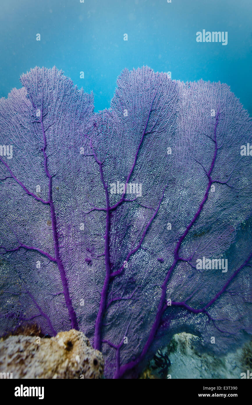 close up view of delicate veins on branches of Purple Sea Fan contrasted against turquoise water in Caribbean Stock Photo
