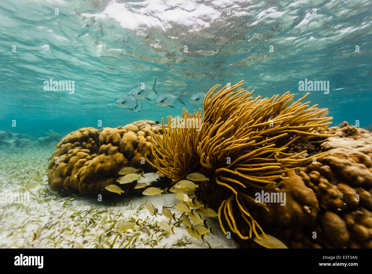 School of big silver permit fish with black tails on coral reef approach school of small fish hiding under branching - Stock Image