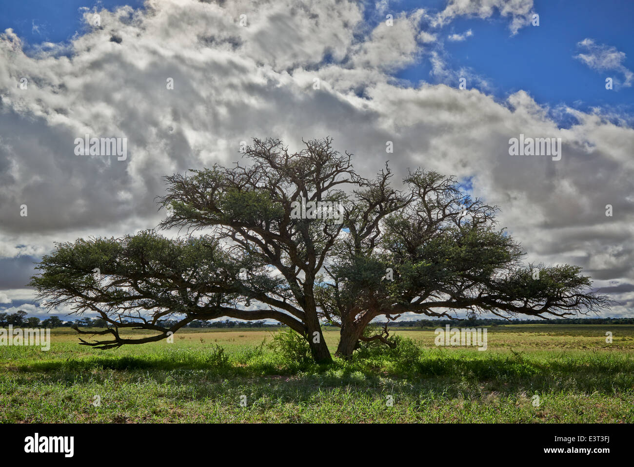 landscape with acacia tree under strong clouds in Kgalagadi Transfrontier Park, Kalahari, South Africa, Botswana, Stock Photo