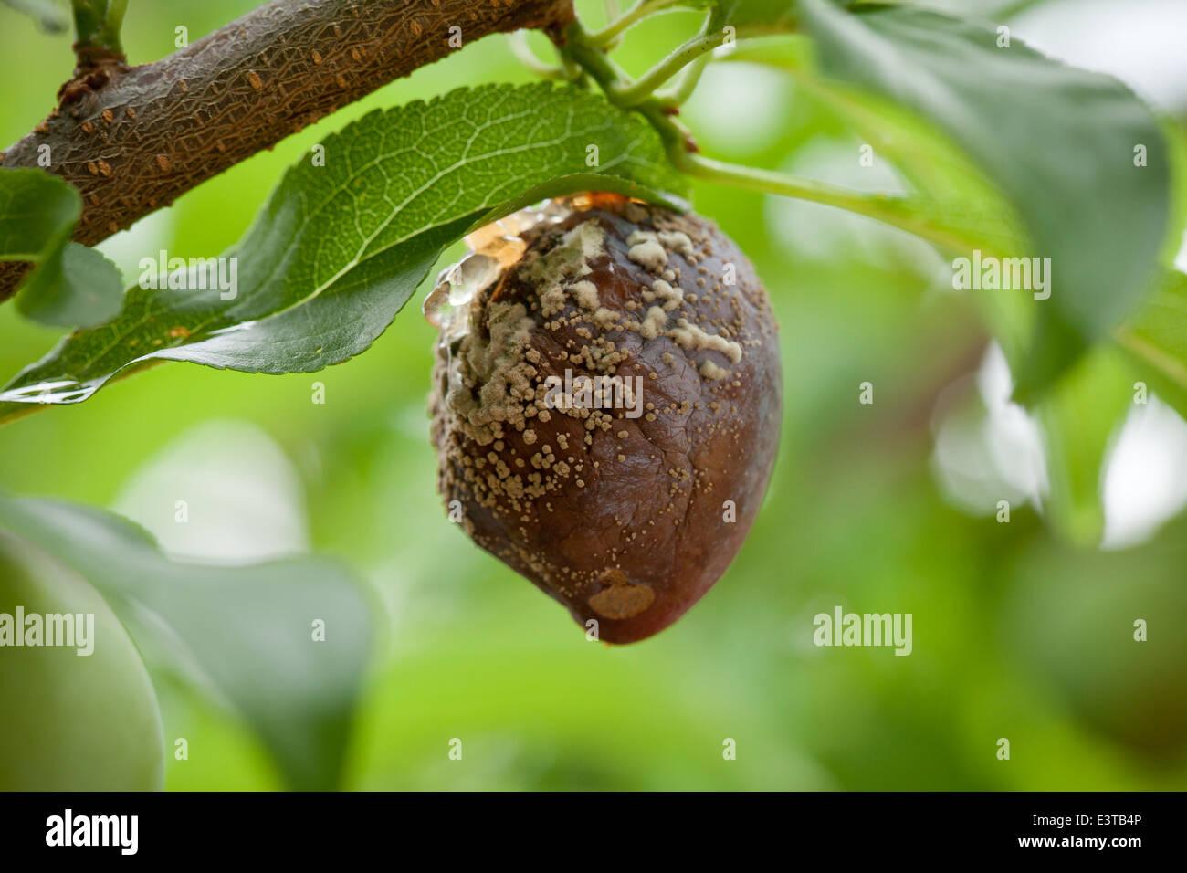 Brown rot fungal disease (Monilinia fructicola) on plum - USA - Stock Image