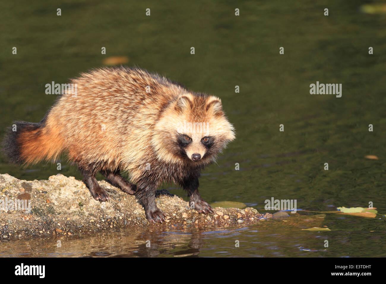 Raccoon Dog Japan Stock Photos & Raccoon Dog Japan Stock Images - Alamy