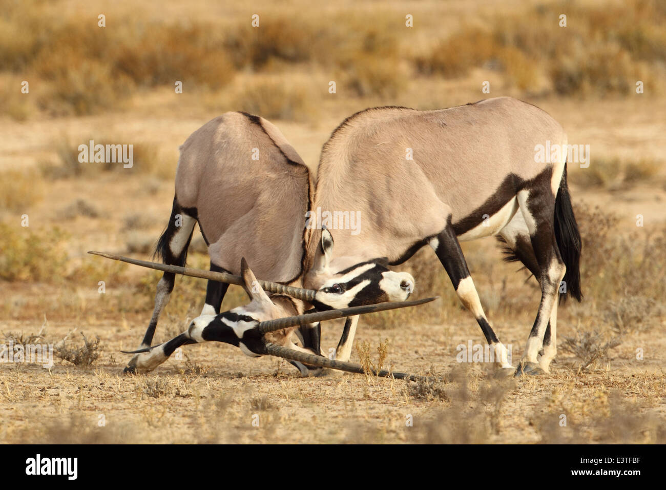 A pair of gemsbok lock horns during mating season inside the Kgalagadi Transfrontier National Park. - Stock Image