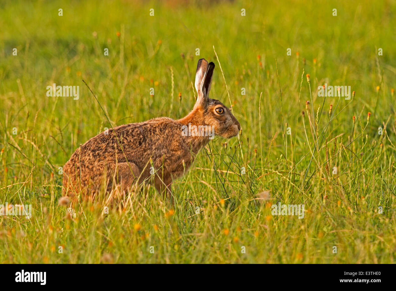 European hare / Lepus europaeus - Stock Image