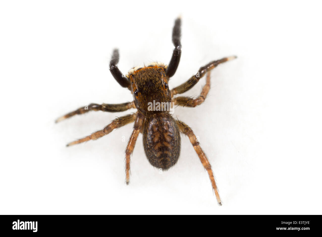 Male Euophrys frontalis spider, part of the family Salticidae Stock ...