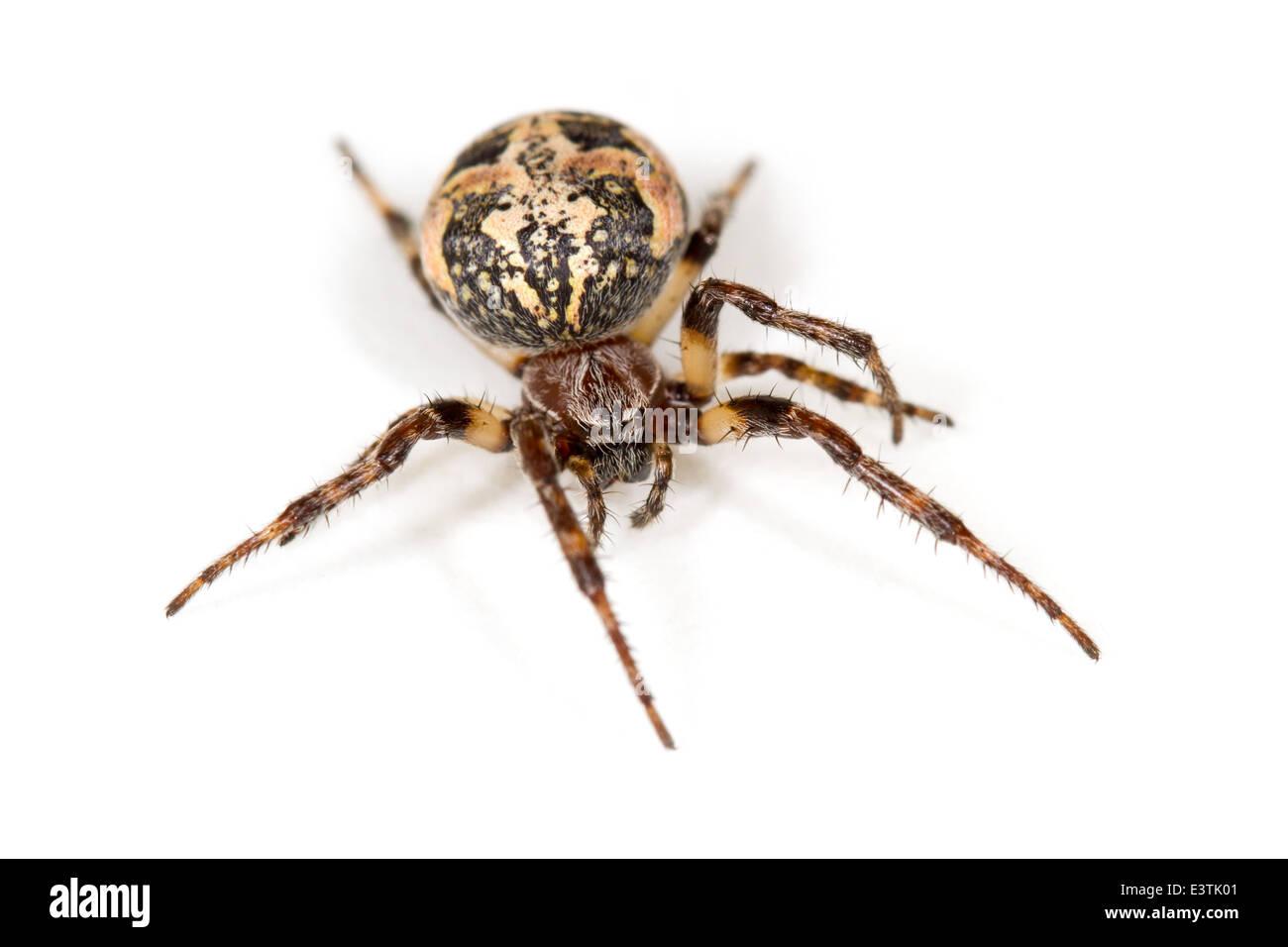 Female Furrow Orb-weaver (Larinioides cornutus) spider, part of the family Araneidae -  Orbweavers. Isolated on Stock Photo