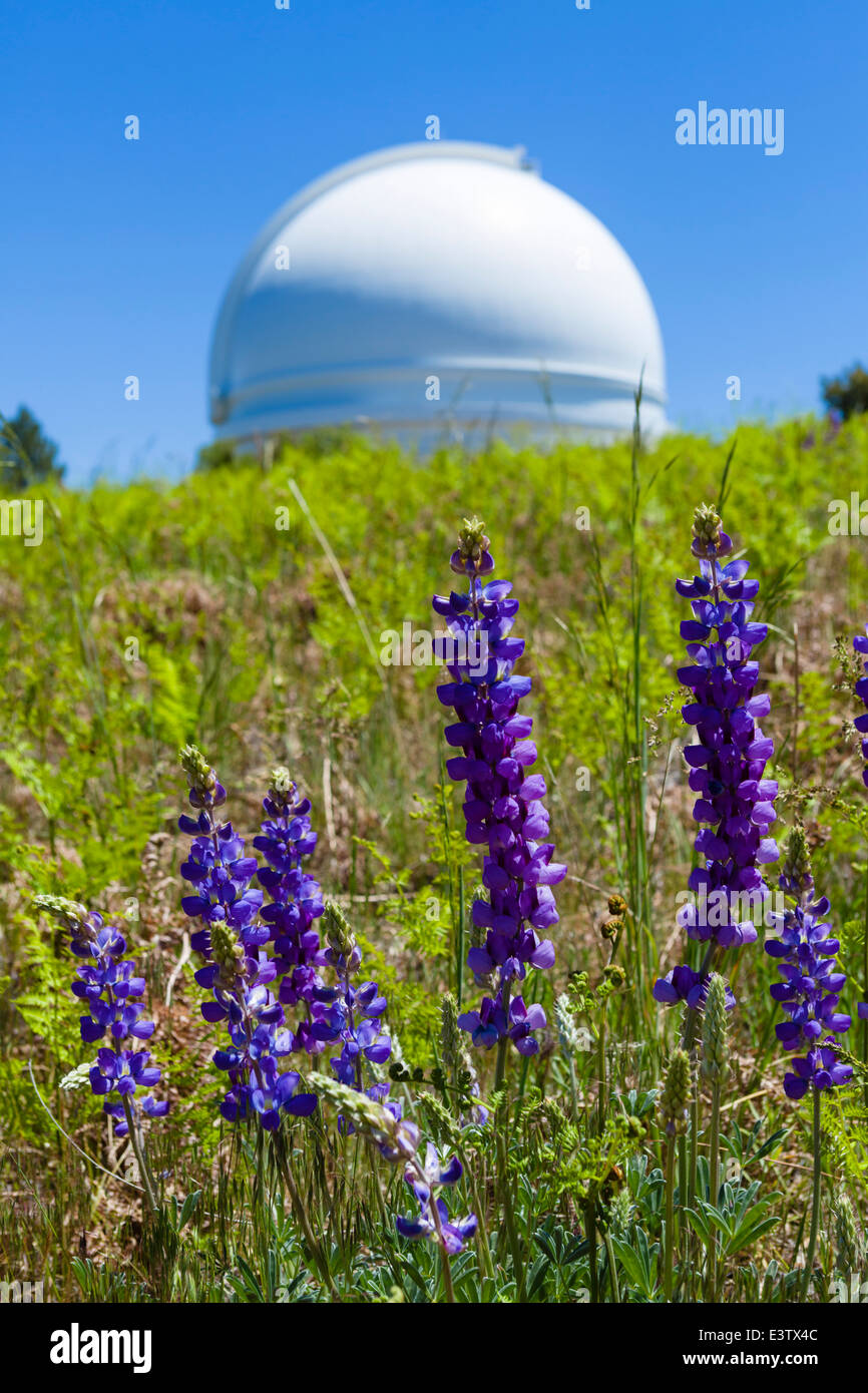 Lupins in front of the dome of the 200 inch Hale Telescope at the Palomar Observatory, San Diego County, California, - Stock Image
