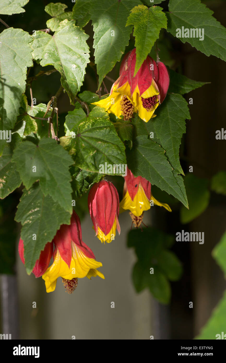 Hanging flowers of the flowering maple, Abutilon 'Kentish Belle' - Stock Image