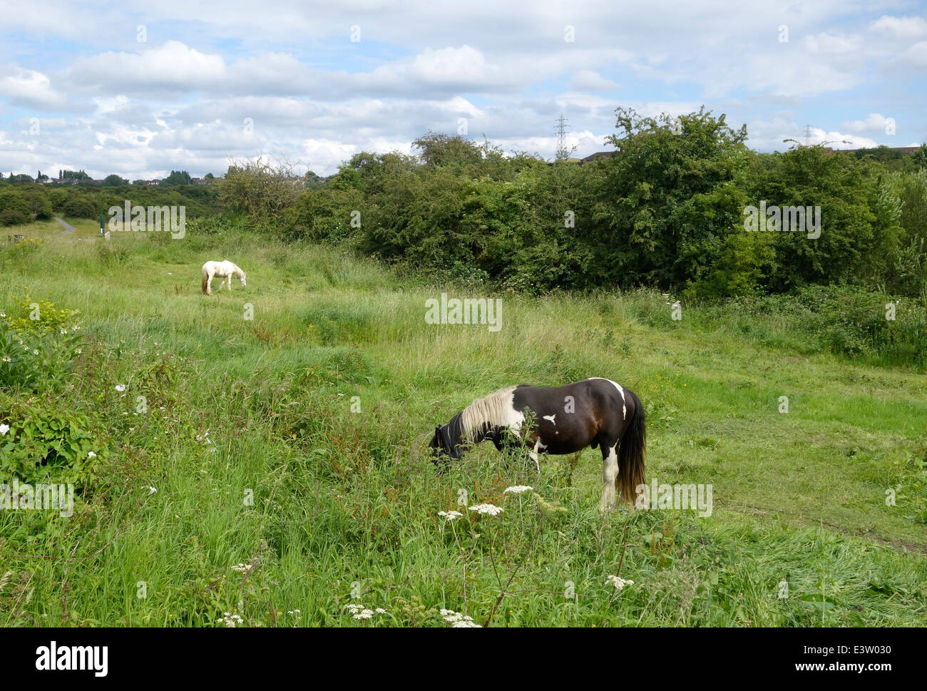 Horses Grazing on Rough Ground at Buckpool & Fens Pool Nature Reserve, Brierley Hill, West Midlands, England, UK Stock Photo