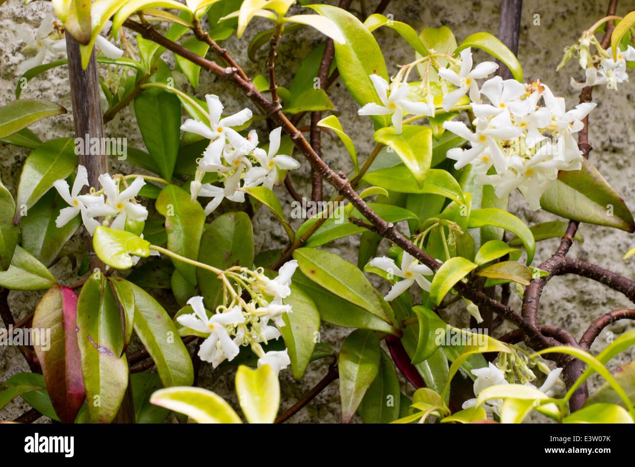 Foliage and flowers of the star jasmine, Trachelospermum jasminoides - Stock Image