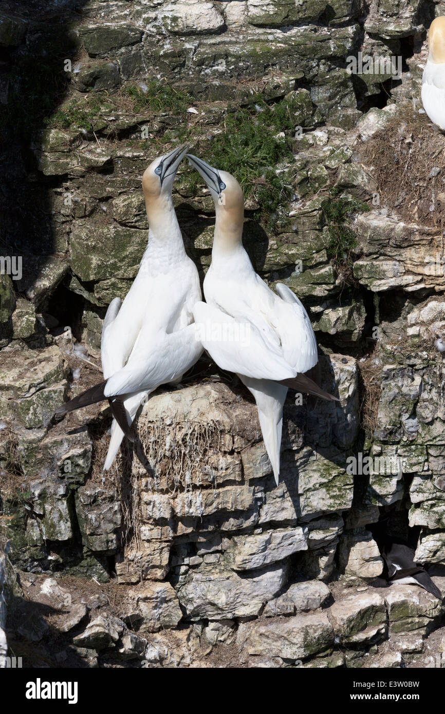 UK, Yorkshire, Bempton Cliffs, gannets courting. - Stock Image