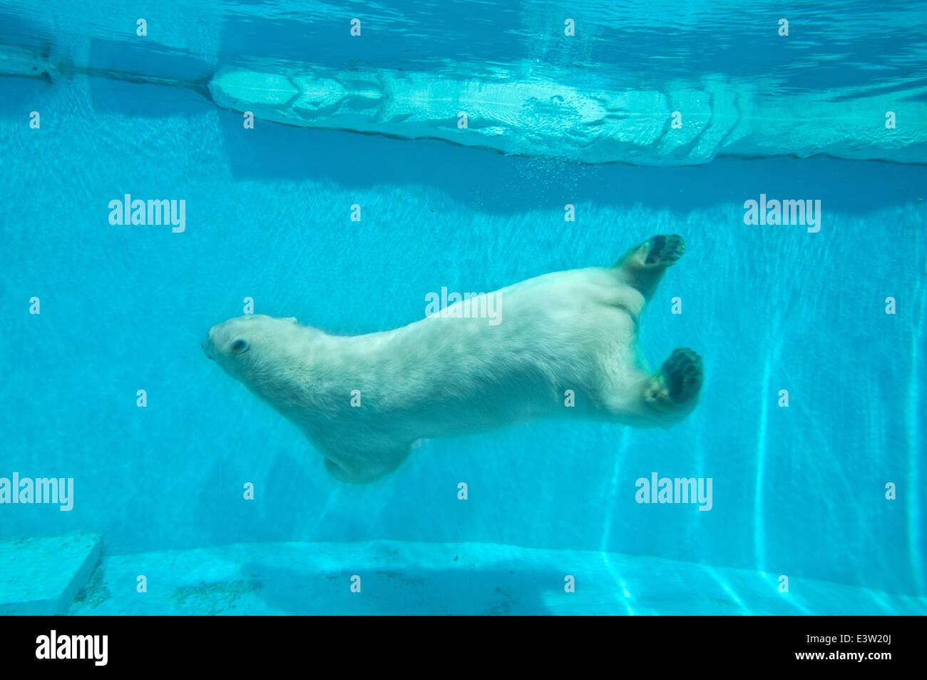 Swimming polar bear - Thalarctos Maritimus (Ursus maritimus) - Stock Image