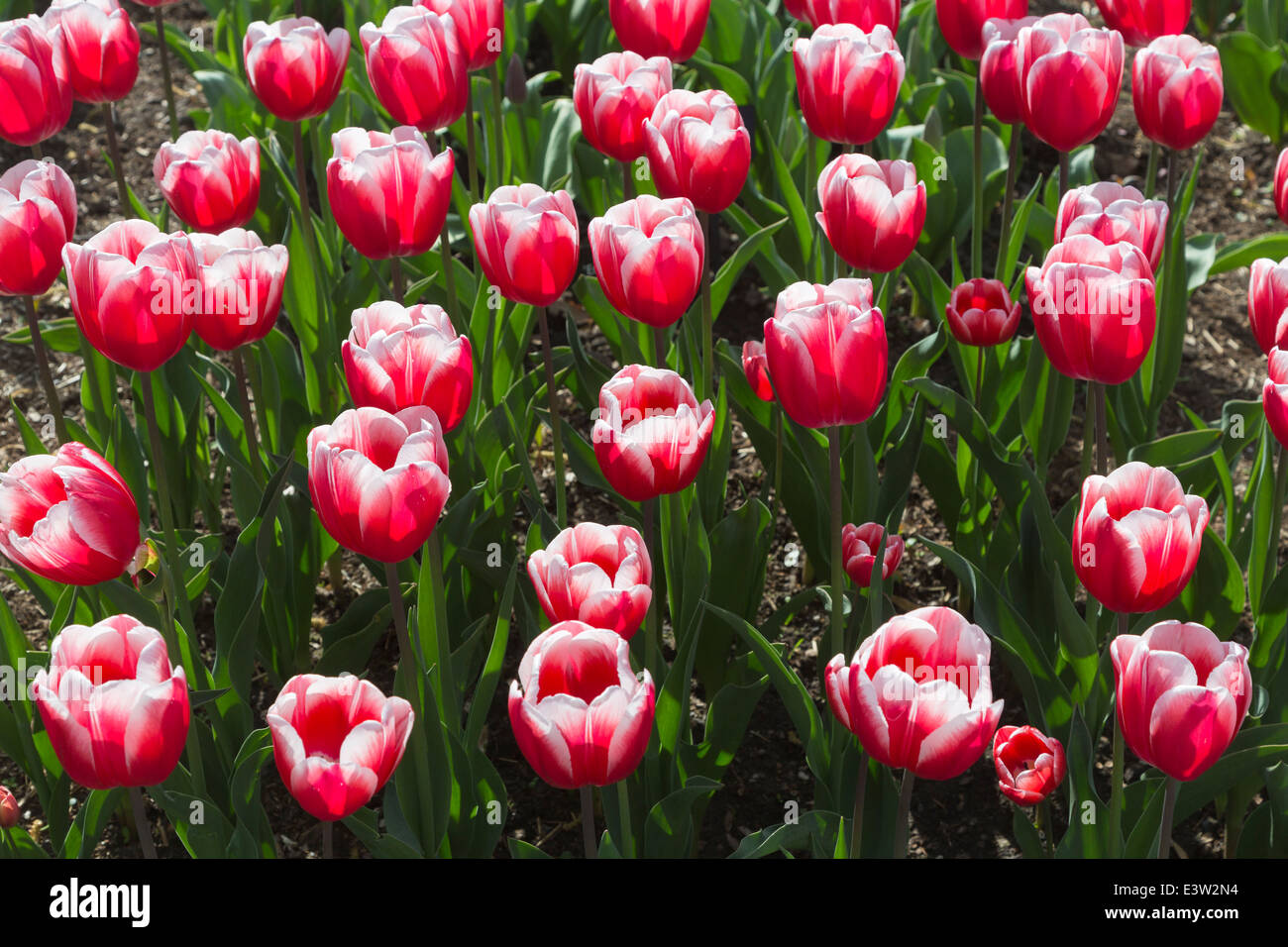 Red and white tulip, 'Timeless' flowering at RHS Wisley, Surrey, UK in springtime Stock Photo