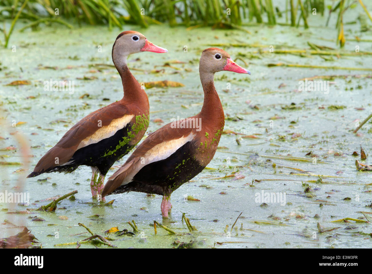 A pair of Black-bellied whistling ducks (Dendrocygna autumnalis) in a swamp covered with duckweed. - Stock Image
